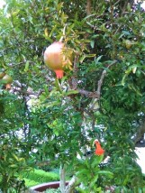 the blessed pomegranate of holy Persephone?